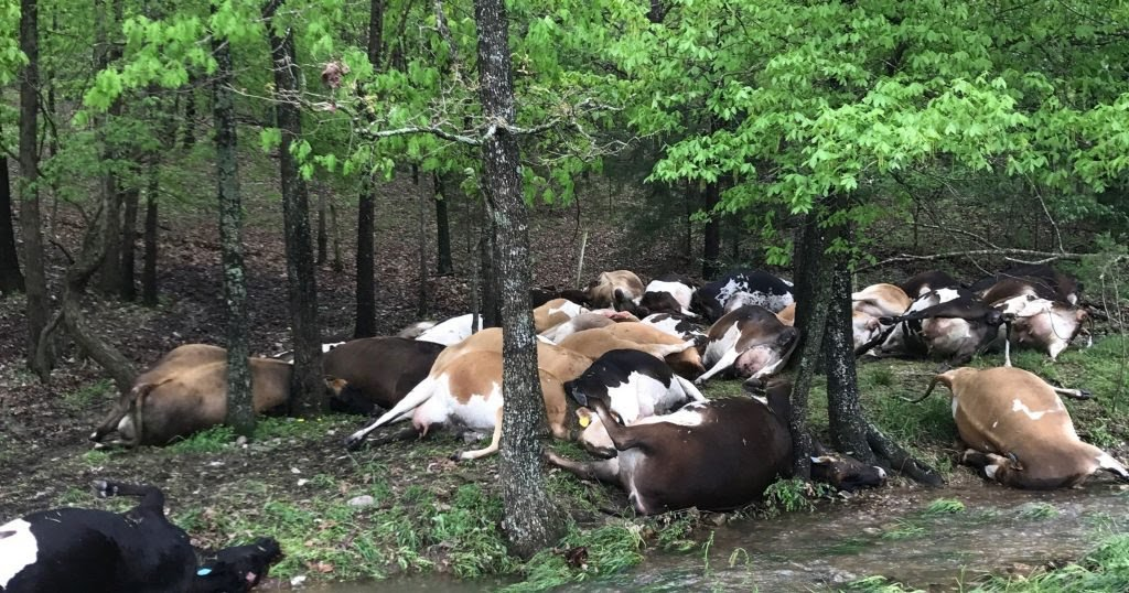 Thunder Kills 23 Cows in Ekiti
